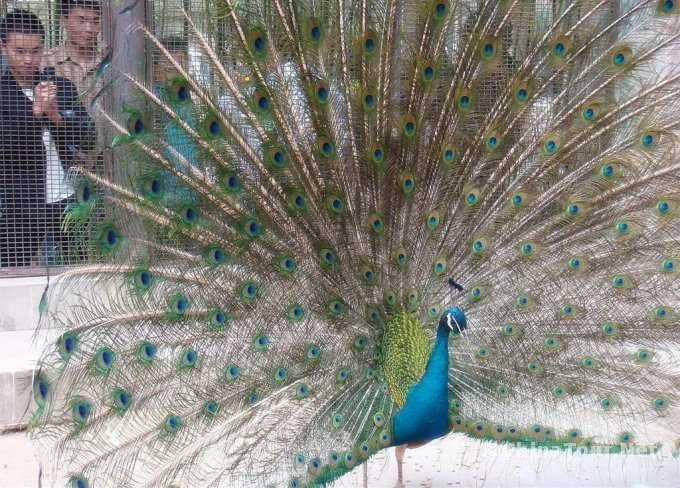 a peacock in his pride