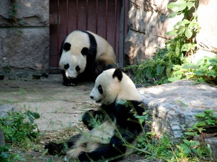 Giant Pandas in Beijing Zoo