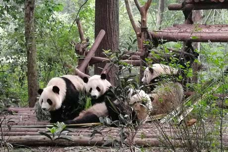 1 Day Giant Panda and Giant Buddhist Tour